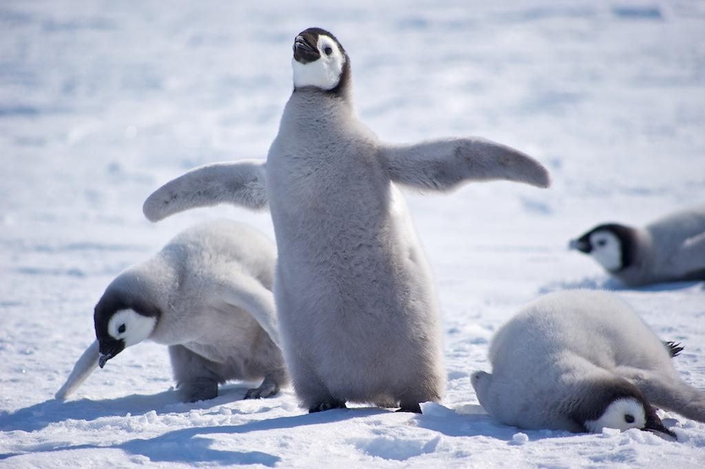 penguin chicks |
