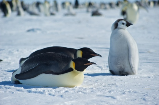 Penguins on their bellies